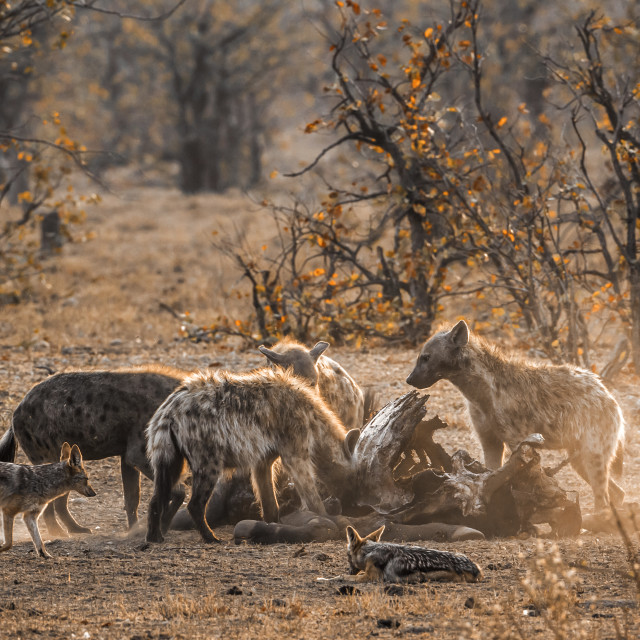 """Spotted hyaena and Black-backed jackal in Kruger National park,"" stock image"