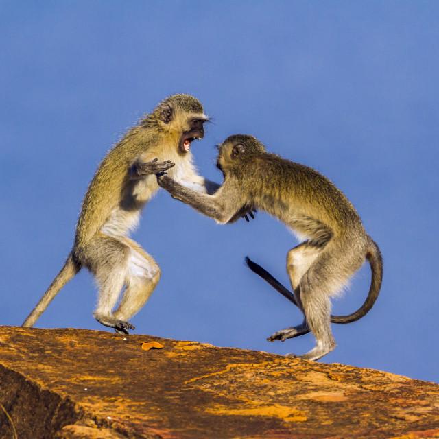 """""""Vervet monkey in Kruger National park, South Africa"""" stock image"""