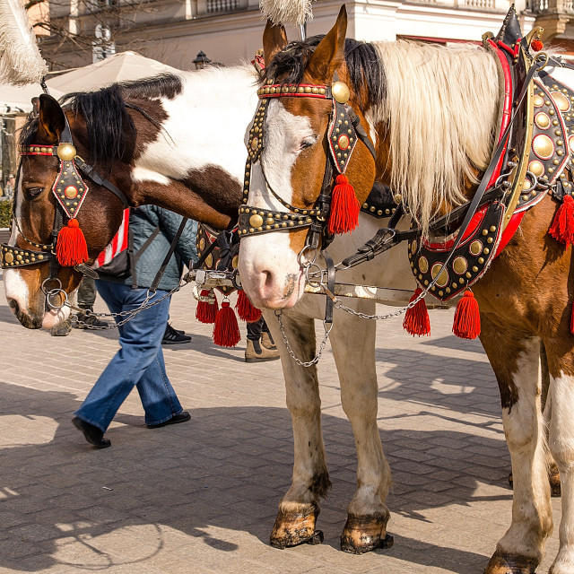 """Horses at main square in Krakow (Poland)"" stock image"