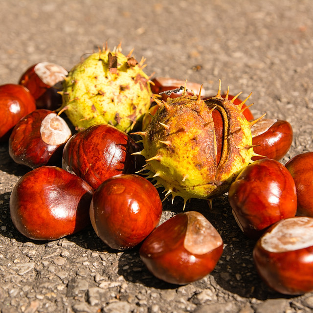 """""""Chestnuts on the path in autumn"""" stock image"""