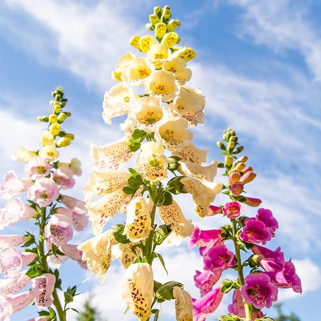 """Beautiful foxglove (Digitalis purpurea) in the garden in sunny day"" stock image"