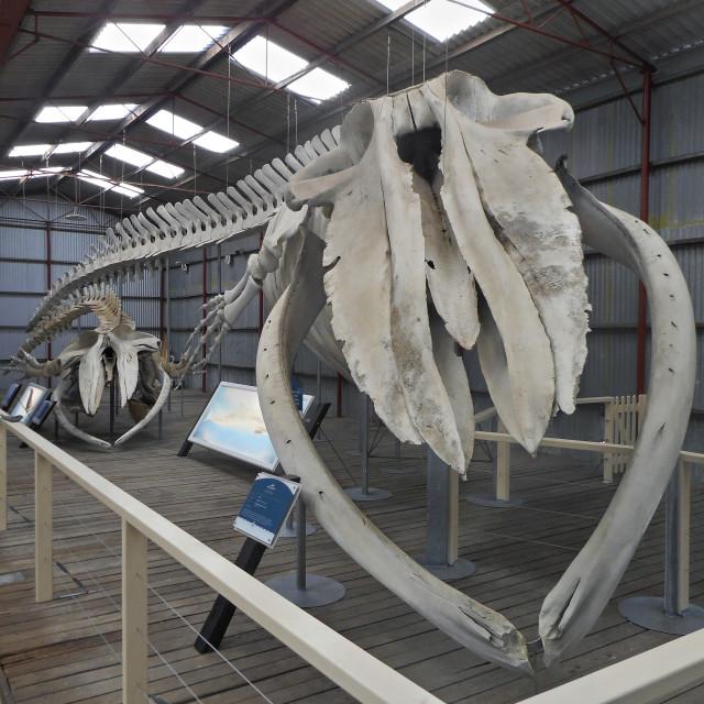 """Blue whale skeleton."" stock image"