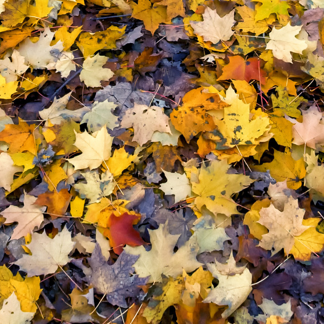 """""""Harmony In Concert: Fall Colour in Ontario"""" stock image"""