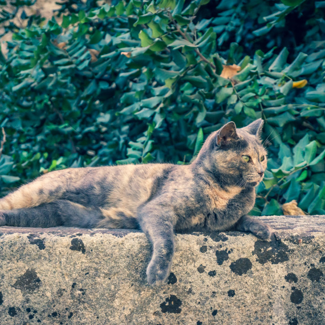 """""""Cute grey cat resting on wall of ancient old town of Rhodes capital city"""" stock image"""