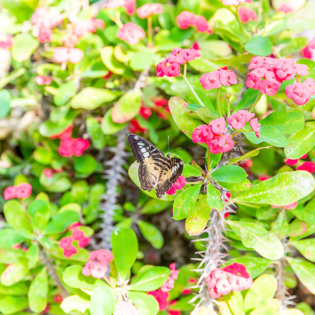 """""""Nice butterfly perched on pink flowers with thorns on stems"""" stock image"""