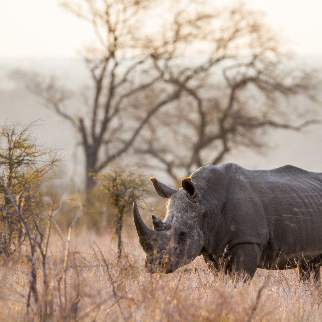 """Southern white rhinoceros in Kruger National park, South Africa"" stock image"