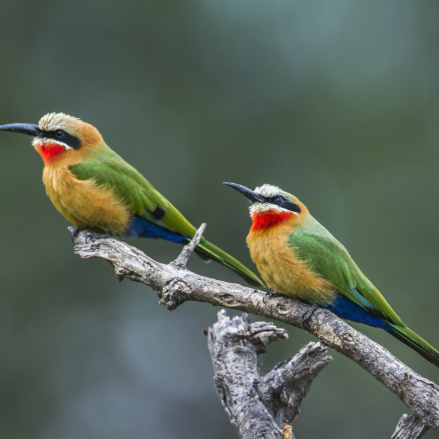 """White fronted Bee eater in Mapungubwe National park, South Afric"" stock image"