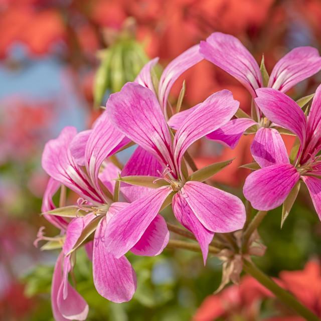 """cascading geranium"" stock image"