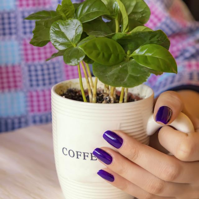 """plant coffee"" stock image"