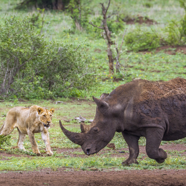 """Southern white rhinoceros and African lion in Kruger National pa"" stock image"