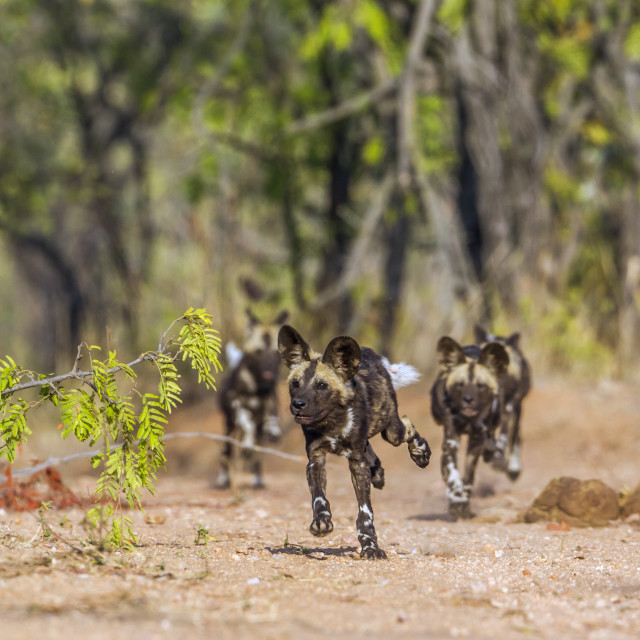 """African wild dog in Kruger National park, South Africa"" stock image"