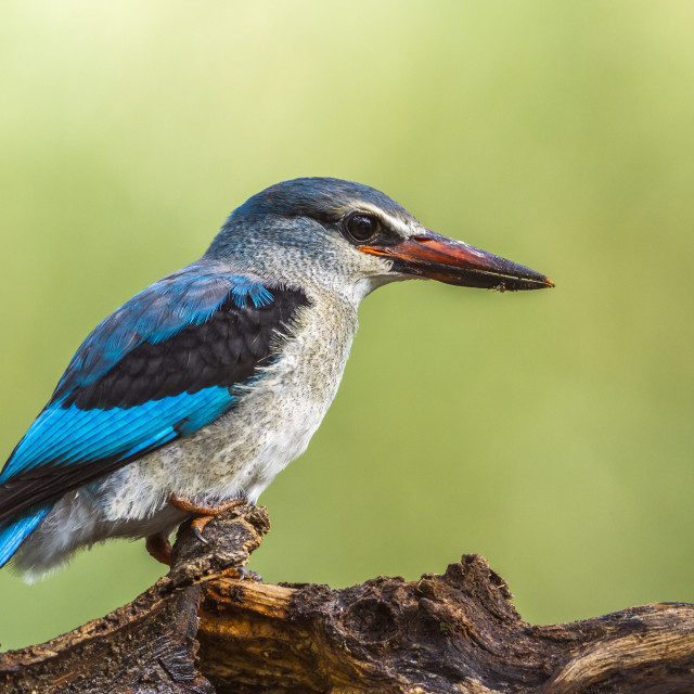 """Woodland kingfisher in Mapungubwe National park, South Africa"" stock image"