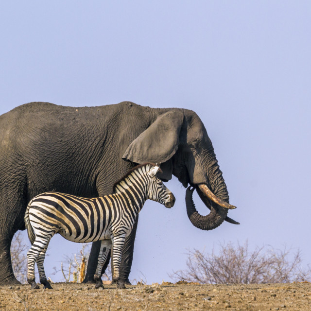 """Plains zebra and African bush elephant in Kruger National park,"" stock image"