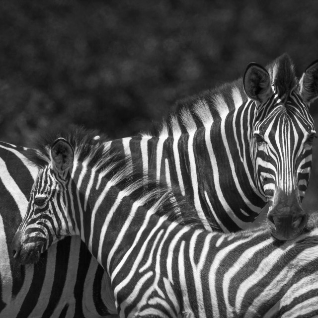 """Plains zebra in Kruger National park, South Africa"" stock image"