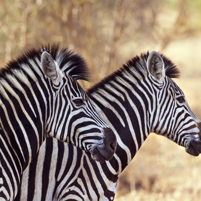 """Burchell's zebra in Kruger National park"" stock image"