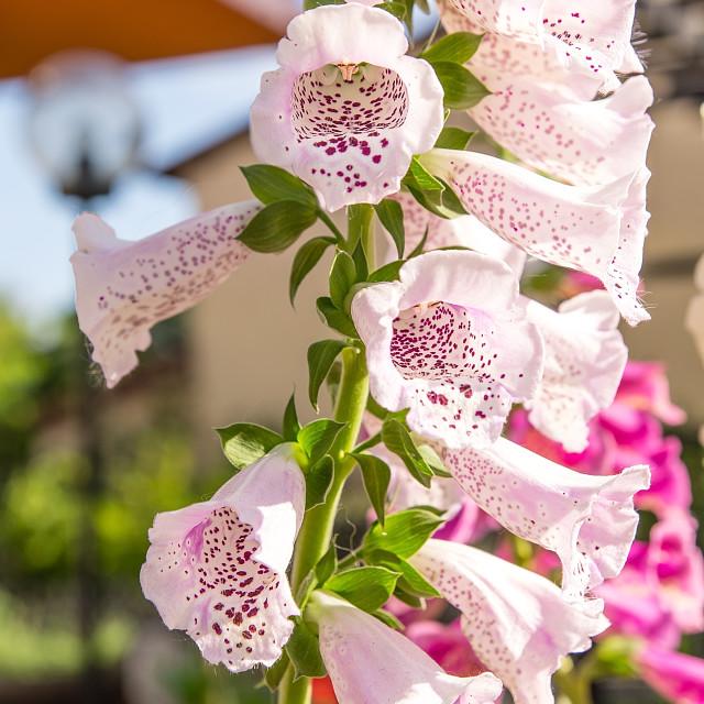"""Beautiful foxglove (Digitalis purpurea) in the garden"" stock image"