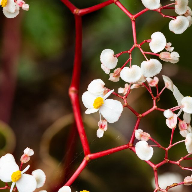 """Red & White Lattice Plant"" stock image"