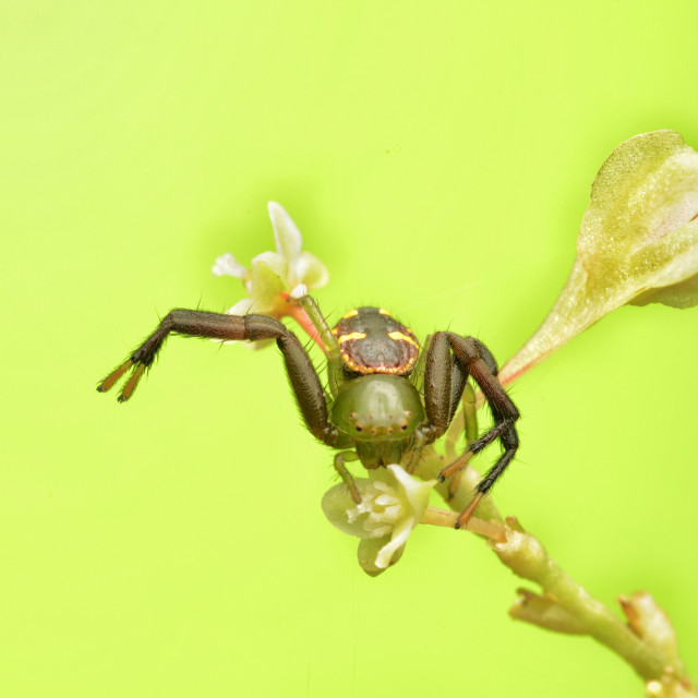 """""""Green crab spider"""" stock image"""