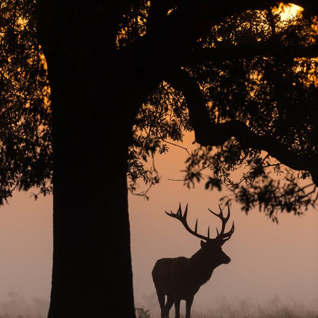 """Red Deer Silhouette"" stock image"
