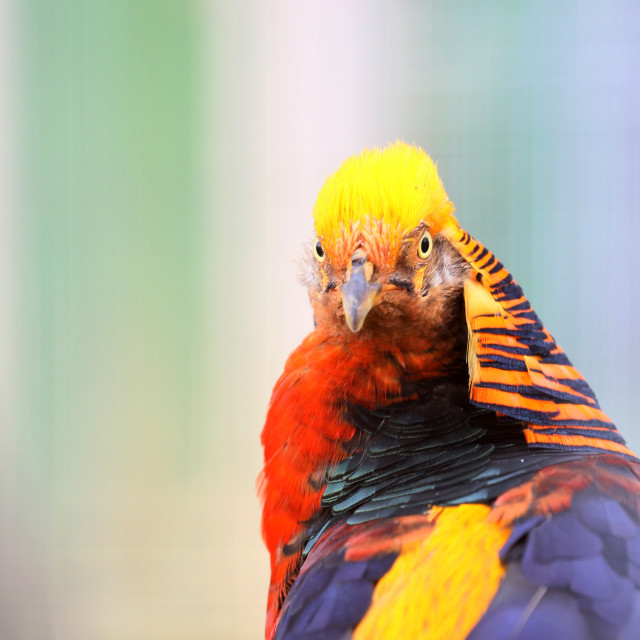 """The golden pheasant is beautiful and comes from Asia"" stock image"