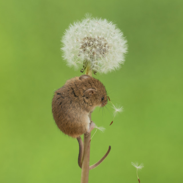 """""""Harvest Mouse on a Dandelion Clock seed"""" stock image"""