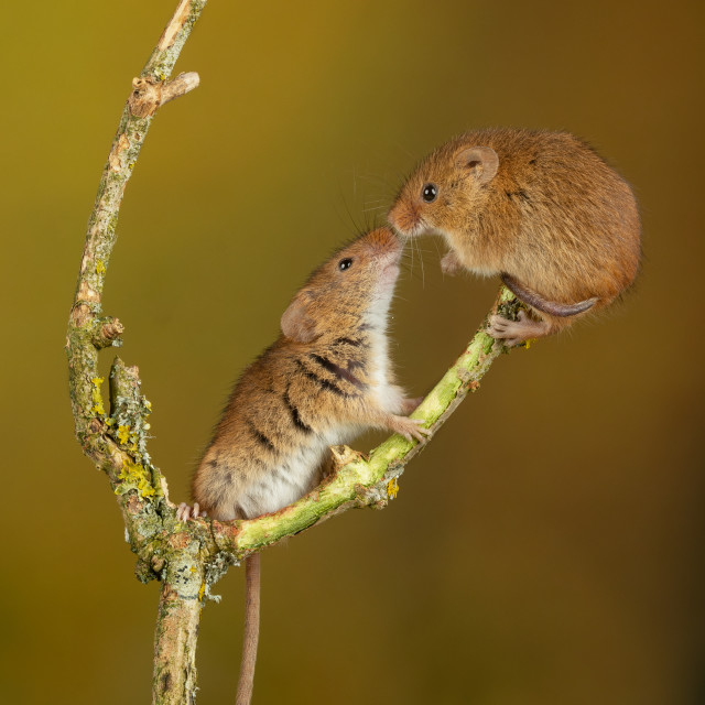 """""""Harvest Mice meet and kiss"""" stock image"""