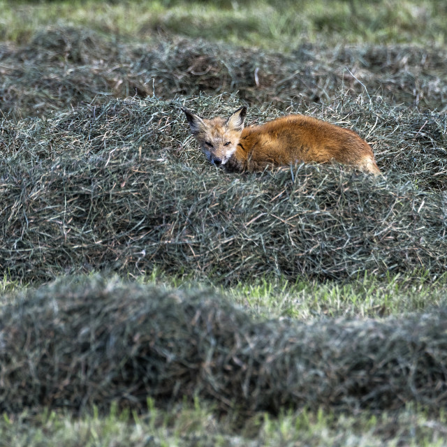 """Red fox hunting in a hay field"" stock image"