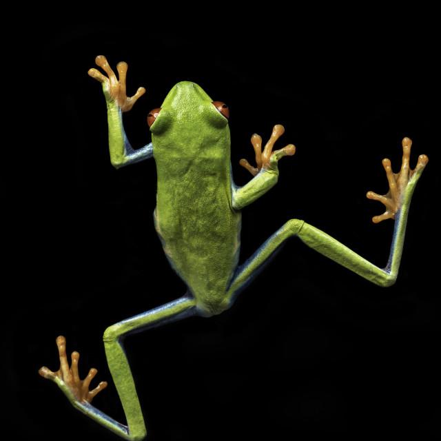 """Agalychnis callidryas / Red eyed tree frog"" stock image"