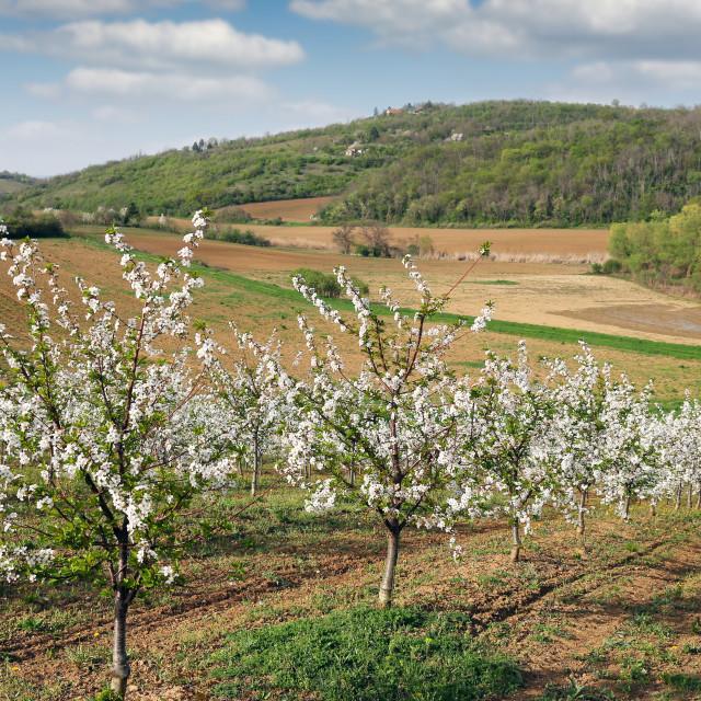 """cherry orchard landscape spring season"" stock image"