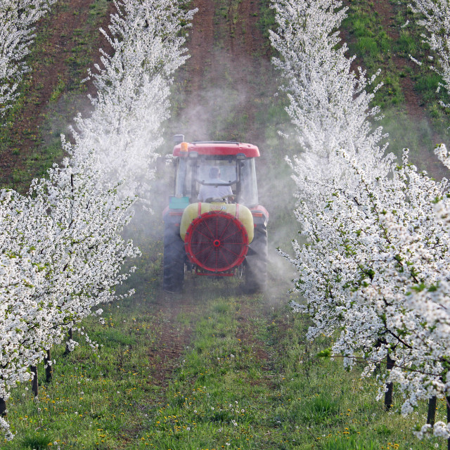 """""""tractor sprays insecticide in cherry orchard"""" stock image"""