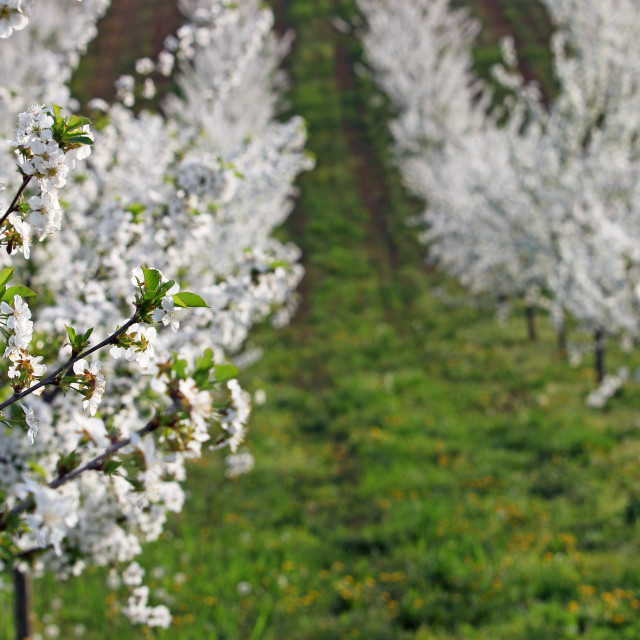 """""""cherry orchard trees landscape spring season agriculture"""" stock image"""