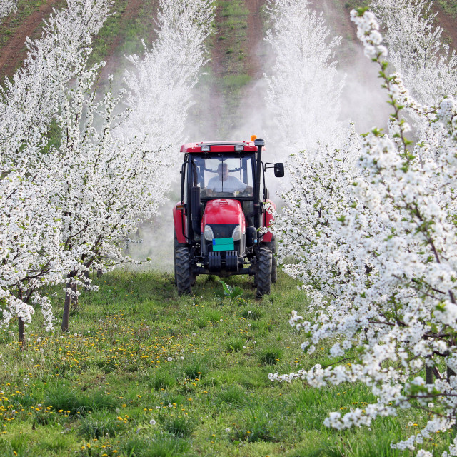 """""""tractor sprays insecticide in cherry orchard agriculture"""" stock image"""