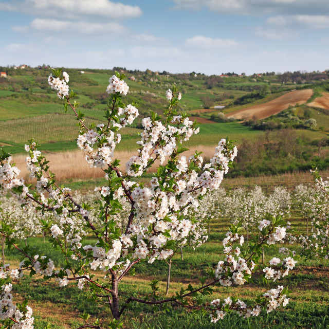 """""""cherry orchard countryside landscape agriculture"""" stock image"""