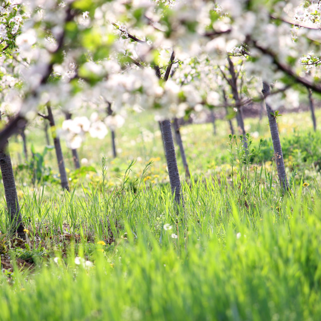 """""""cherry trees orchard spring season agriculture"""" stock image"""