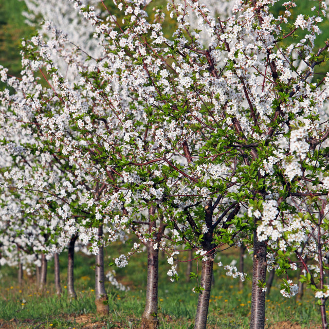 """""""cherry trees orchard spring season landscape agriculture"""" stock image"""