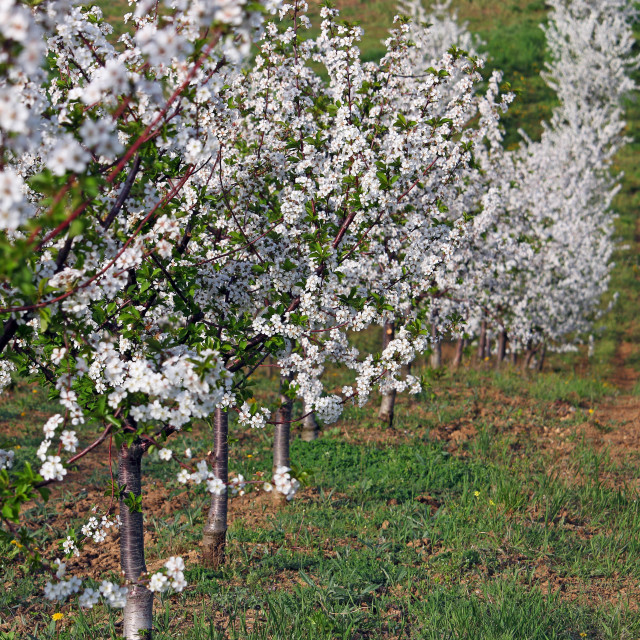 """""""cherry orchard spring season landscape agriculture"""" stock image"""