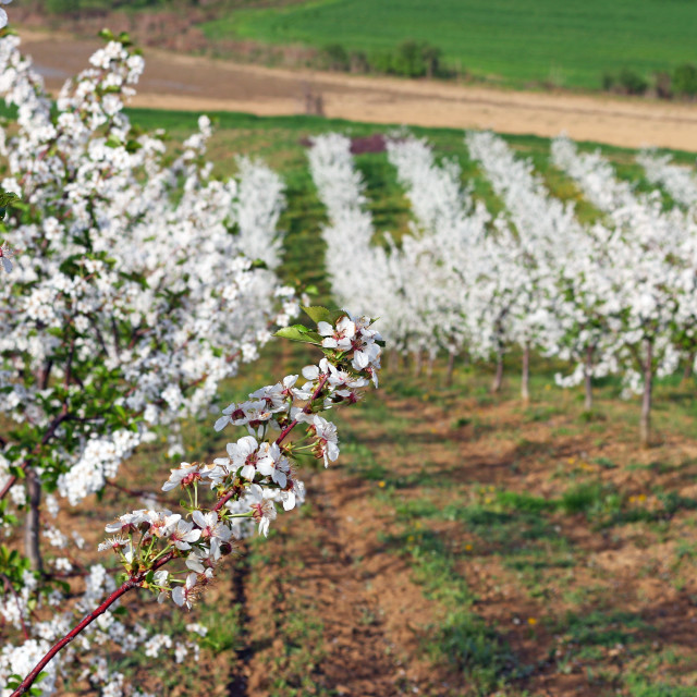 """orchard spring season landscape agriculture"" stock image"