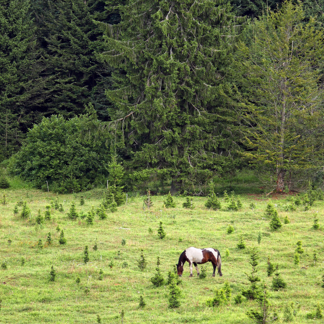 """""""Horse grazing on a mountain near the forest"""" stock image"""
