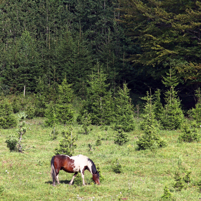 """""""Horse grazing on a mountain near the forest summer season"""" stock image"""