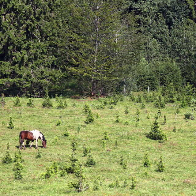 """""""Horse grazing on a mountain near the forest landscape"""" stock image"""