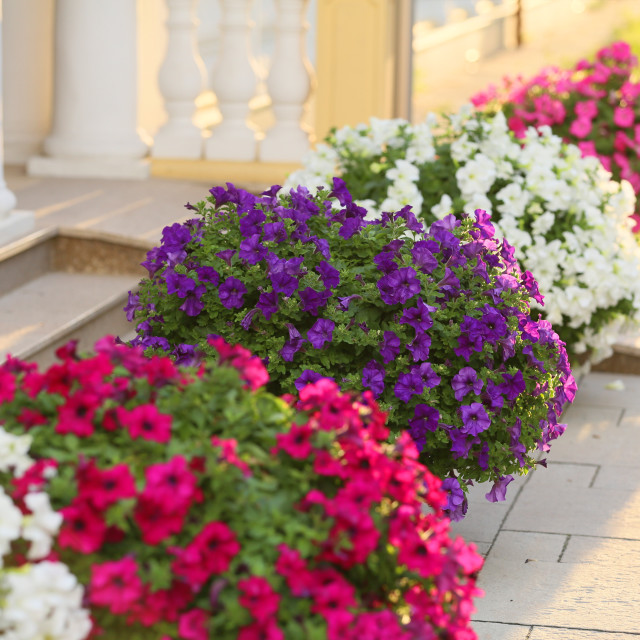 """Beautiful flowers at the entrance to the house"" stock image"