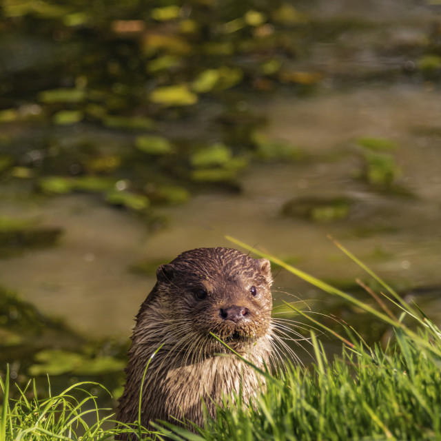 """""""Otters"""" stock image"""
