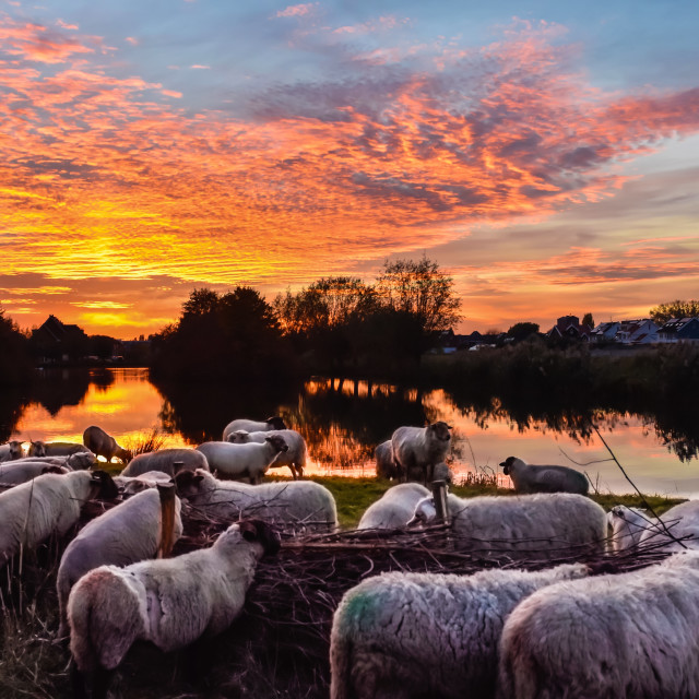"""Sheep Herd Sunrise on a Dutch Landscape"" stock image"