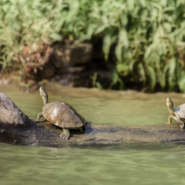 """Two Indian Roofed Turtles, Kachuga tecta, basking in the sun, Ma"" stock image"