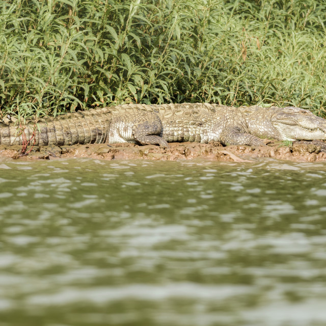 """Mugger crocodile, Crocodylus palustris, in the sun,Mahanadi rive"" stock image"