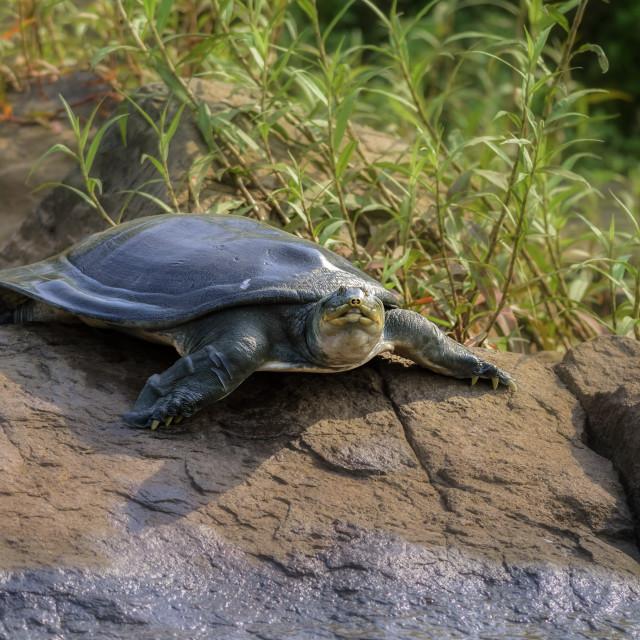 """Indian Softshell Turtle aka Gangetic Softshell turtle, Nilssonia"" stock image"