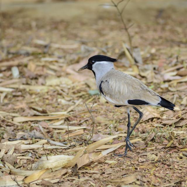 """Medium sized bird, River Lapwing. Vanellus duvaucelii, feeding o"" stock image"