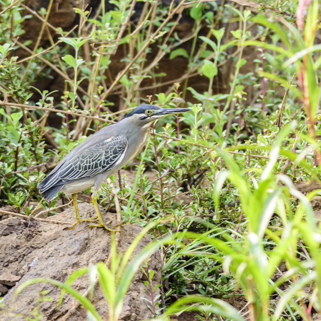 """Medium sized bird Little Heron Butorides striata javanica"" stock image"