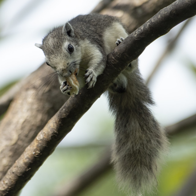 """Asian Squirrel Lunching"" stock image"