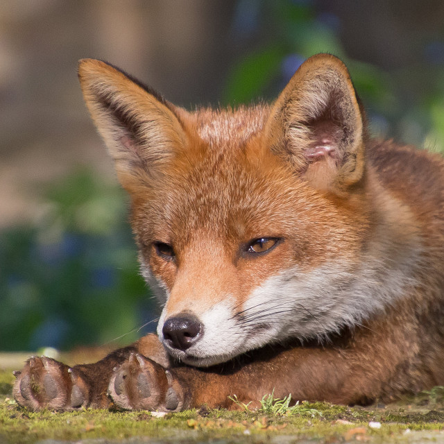 """Fox Portrait"" stock image"